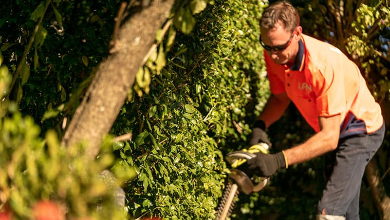 A Lawn.com.au Professional trimming hedge with a trimming machine.