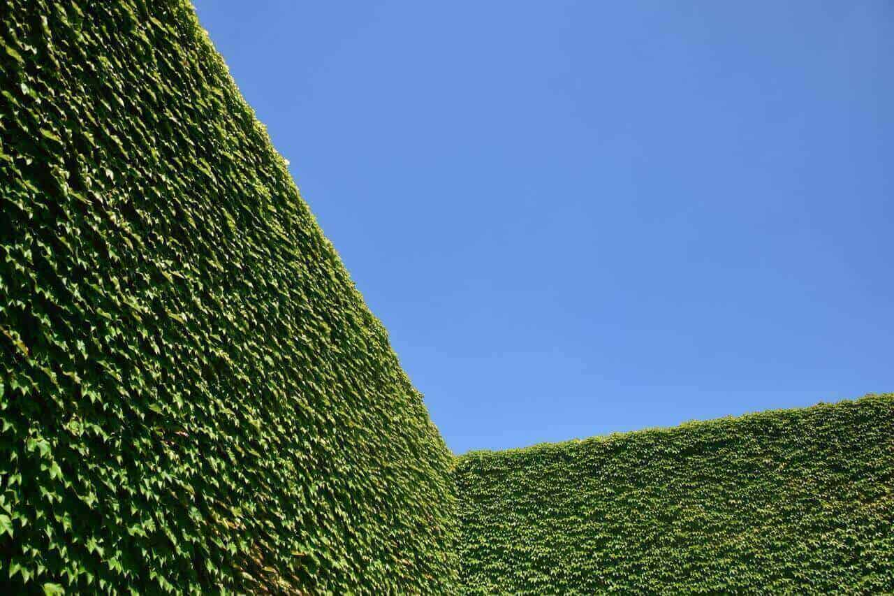 Clean cut freshly trimmed hedges with blue sky