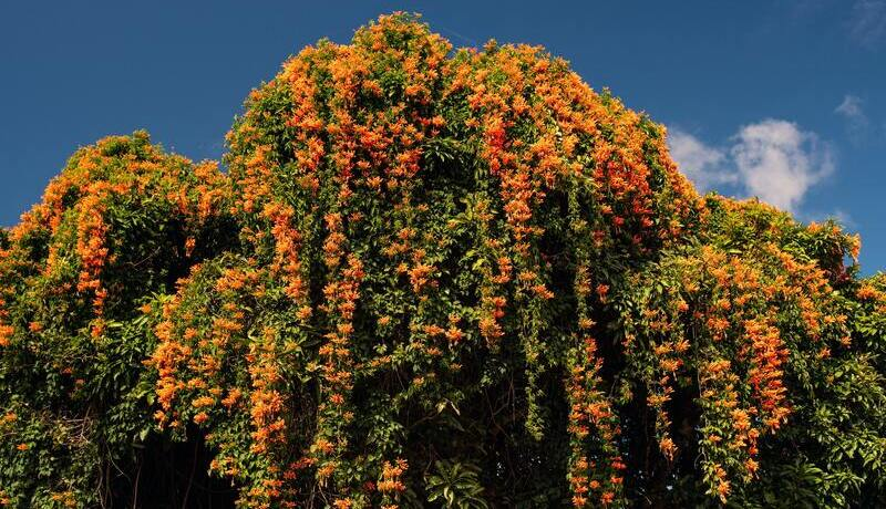 Pyrostegia venusta completely covering a tree