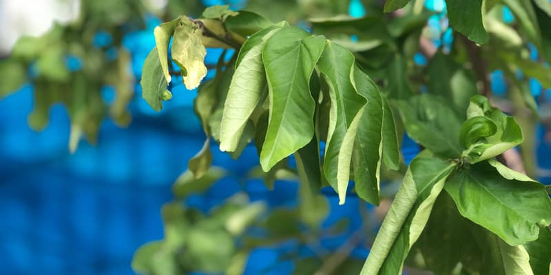 Green leaf of Kaffir lime leaves,wilting as the appearance of leaves severely dehydrated due to drought,growth in botanical herb garden