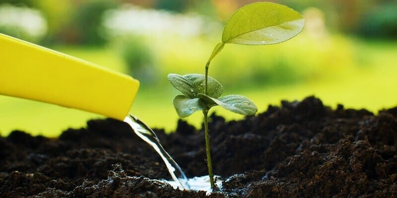 watering a small lemon plant