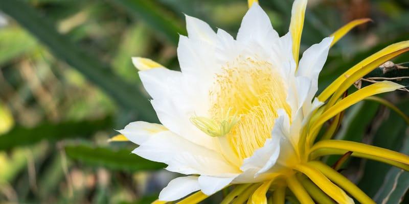 white flower of a dragon fruit plant