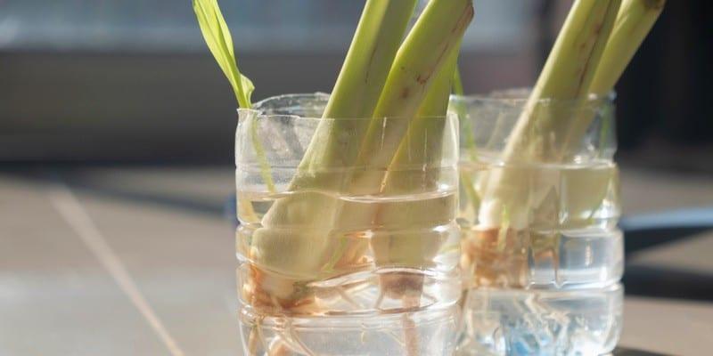 lemongrass stalks submerged in water