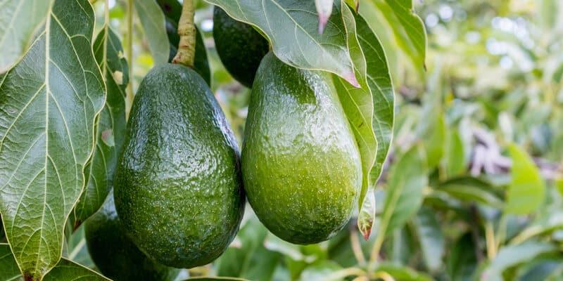 hass avocado, an avocado variety.