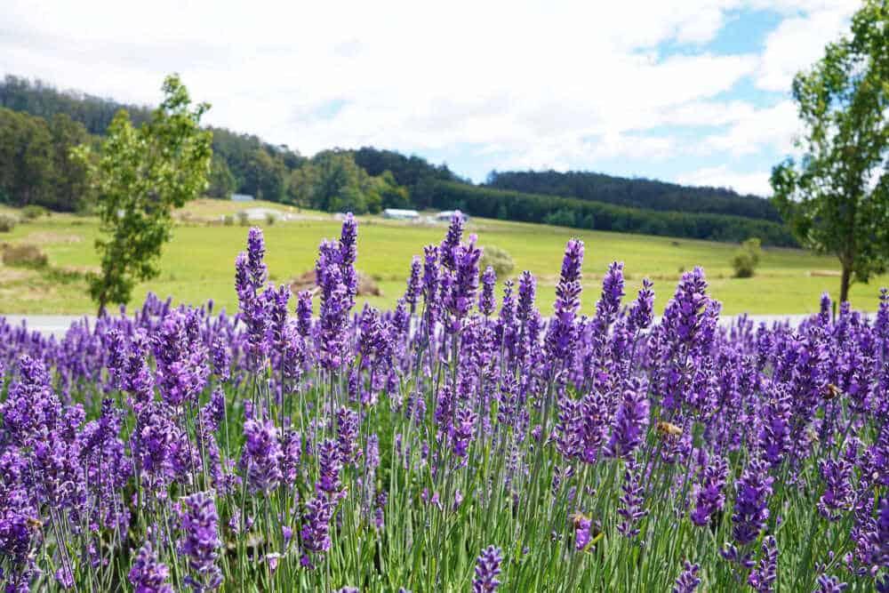 Growing Lavender Plants In Australia