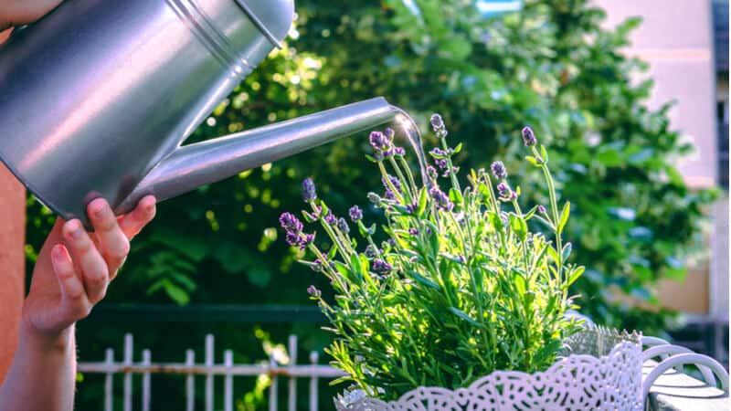 Watering can waters the lavender flowers that grow on the balcony.