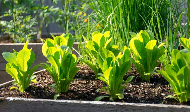vegetables planted in a raised garden bed