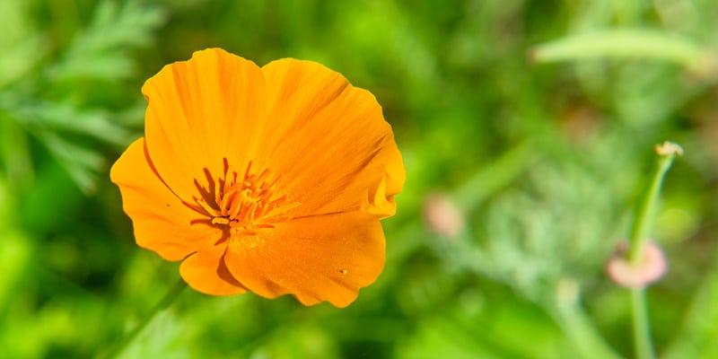 Closeup of Californian poppy flower on blurred green grass background.