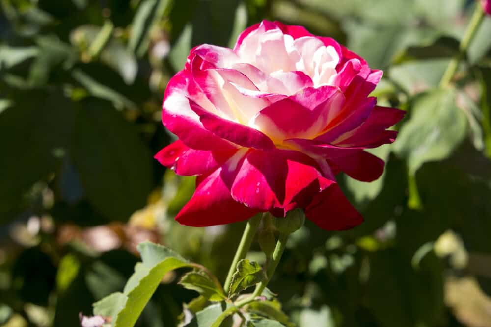 Everything To Know About The Hybrid Tea Rose