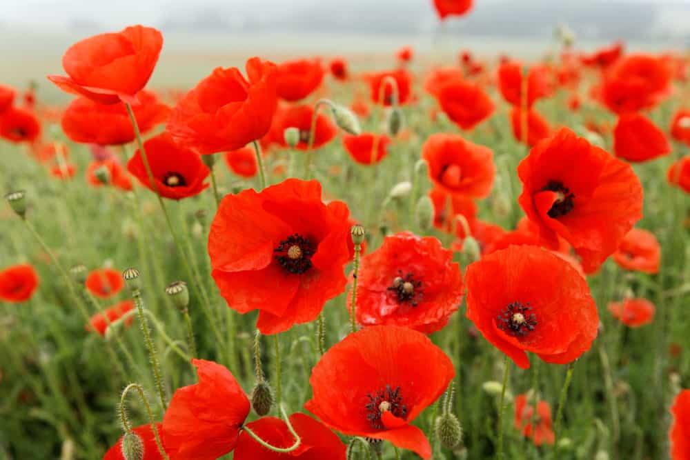 Poppy Propagation: How To Grow Poppies