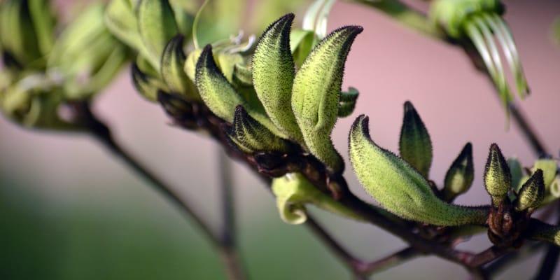 Australian native Black Kangaroo Paw flowers