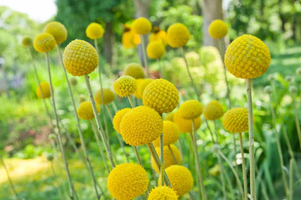 Billy Buttons Plant Care Guide