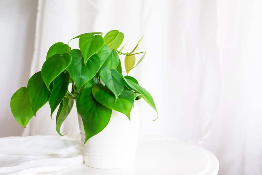 Heart Leaf Philodendron Care Guide