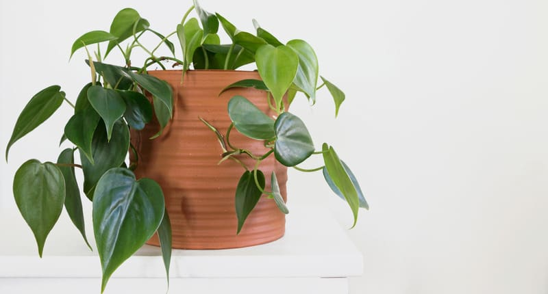 green Philodendron Hederaceum plant in pot with white background