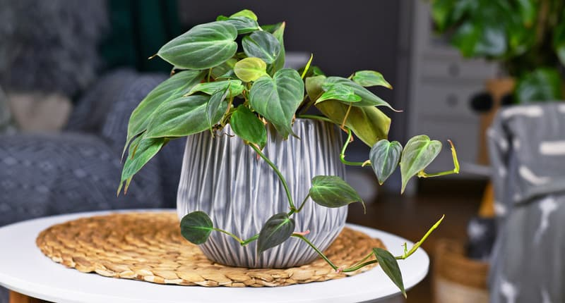 Tropical 'Philodendron Hederaceum Micans' houseplant with heart shaped leaves with velvet texture in gray flower pot on coffee table